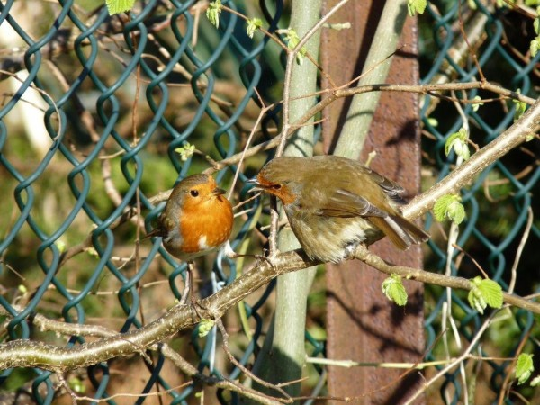 photo of two robins engaging with each other on a tree in a garden