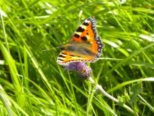 photo of a small tortoise shell butterfly with bright red, orange and black spots amongst blades of grass