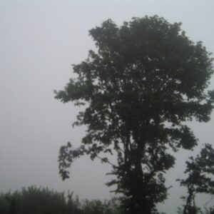Colour photograph showing a tree and hedge engulfed in sea mist.