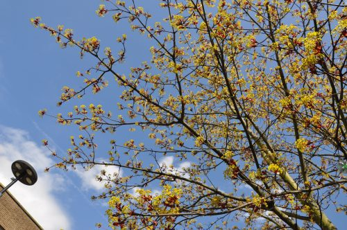 photo of budding leaves on a tree against a blue sky