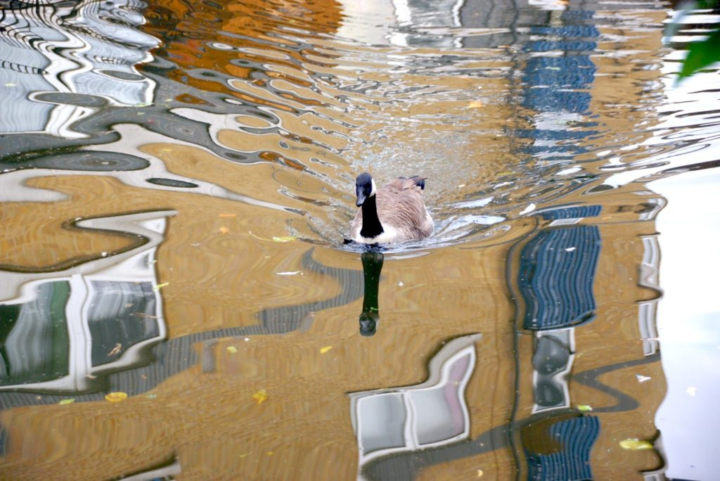 Duck floating in a canal