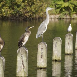 photo of herons on a lake