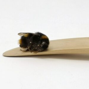 A dead bee lies on its side, on the tip of a sculppting blade.
