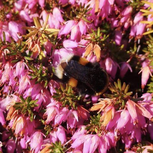 photo of a bee amongst blossom