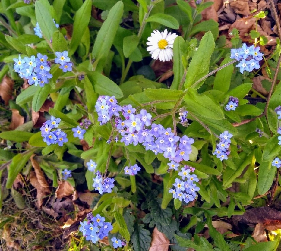 A photograph of blueish purple forget-me-nots and white daisies taken from above