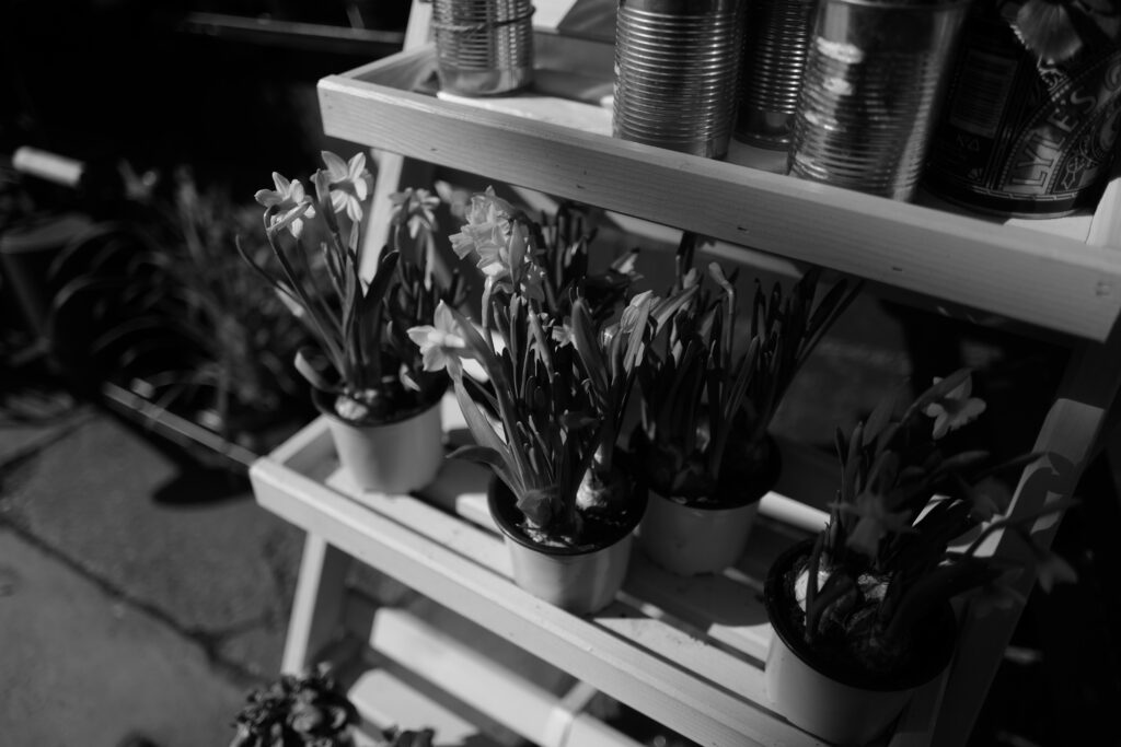 Black and white photograph of pots of daffodils