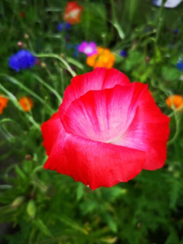 Bright red flower in a green field