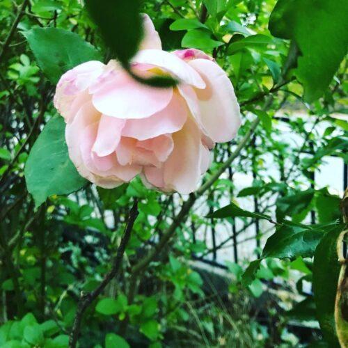 Close-up photograpah of a pink rose