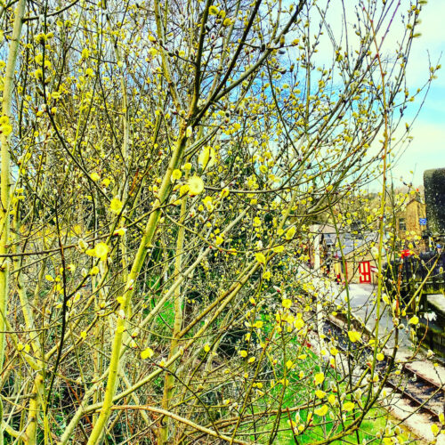 Photo looking down on an empty railway station seen through yellow blossom on shrubs