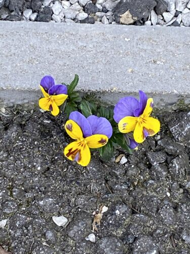 a purple and yellow pansy grows from a crack in a tarmac pavement