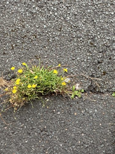 Pretty yellow flowers grow out a crack in the pavement.