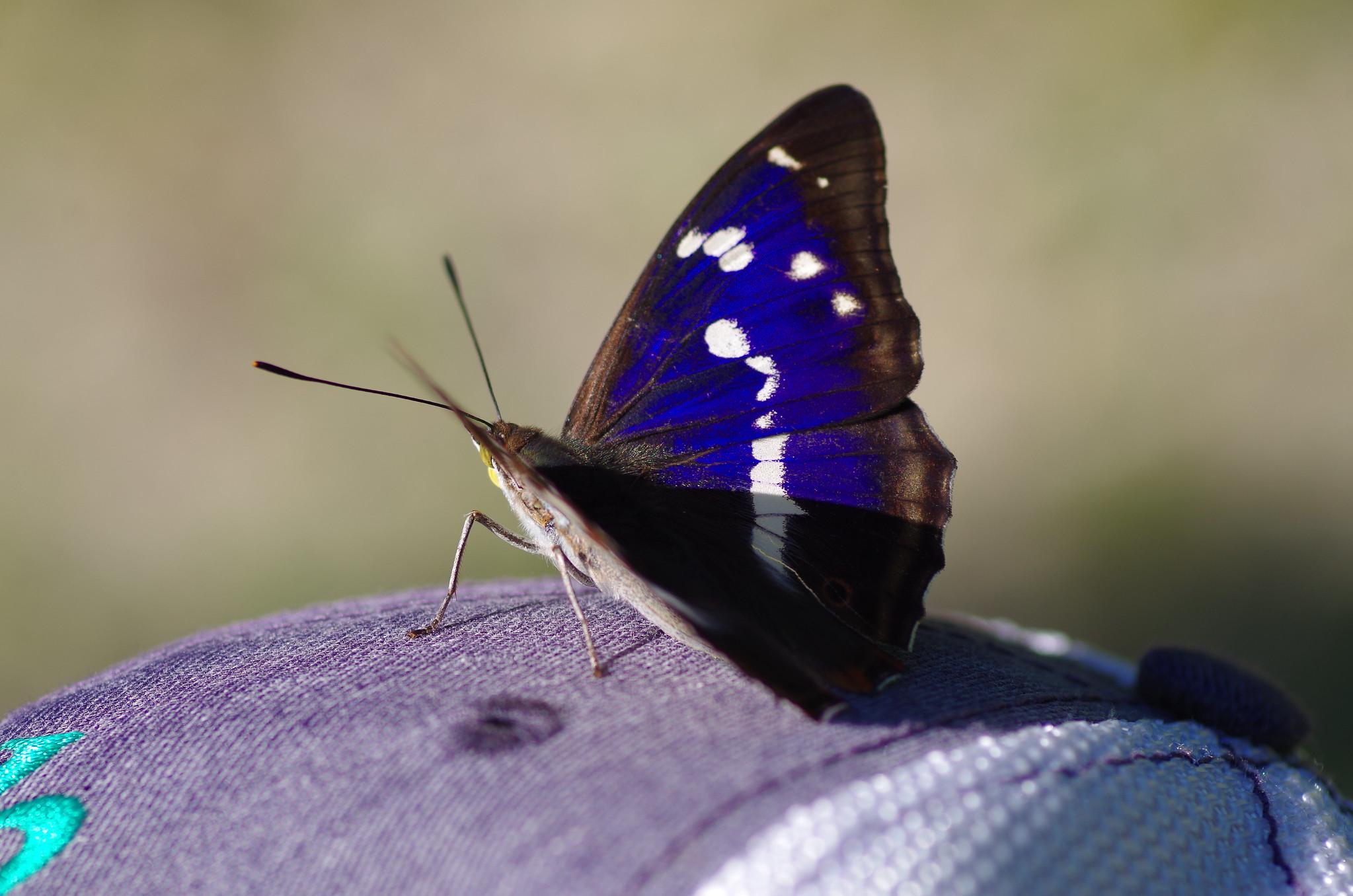 A purple butterfly, sunning itself